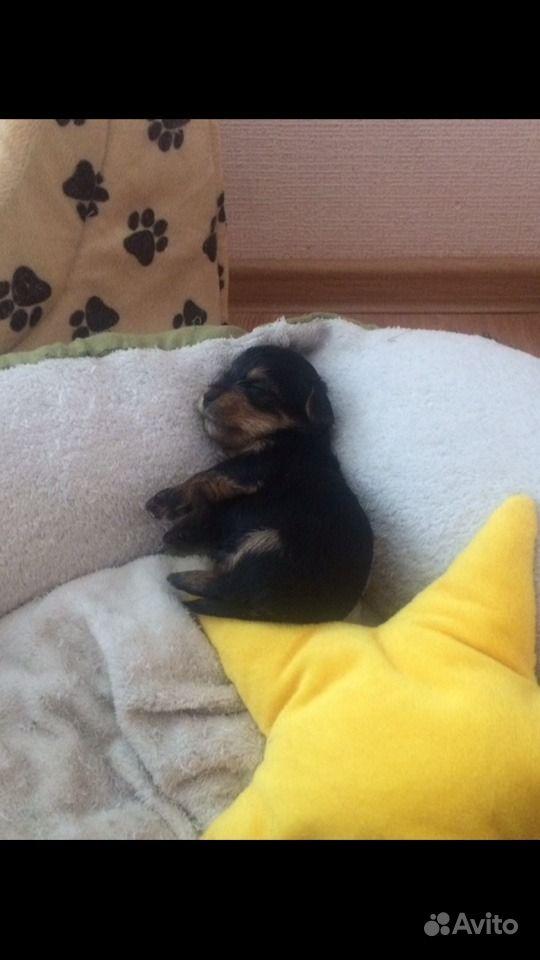 Маленькие собачки в Краснодаре - фотография № 3