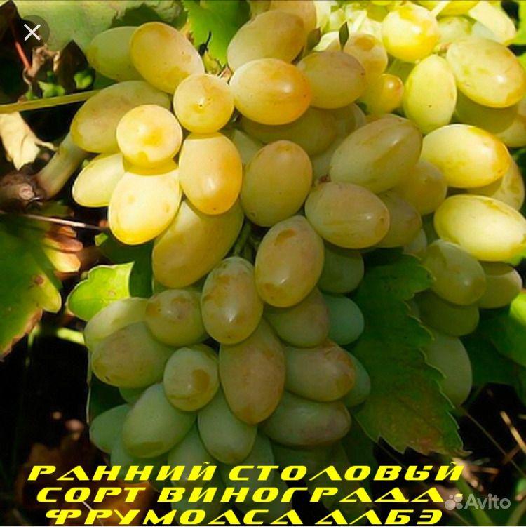 Саженцы винограда лучших сортов купить на Зозу.ру - фотография № 4