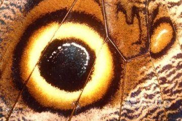Живые Тропические бабочки Сова Андромеда - фотография № 5