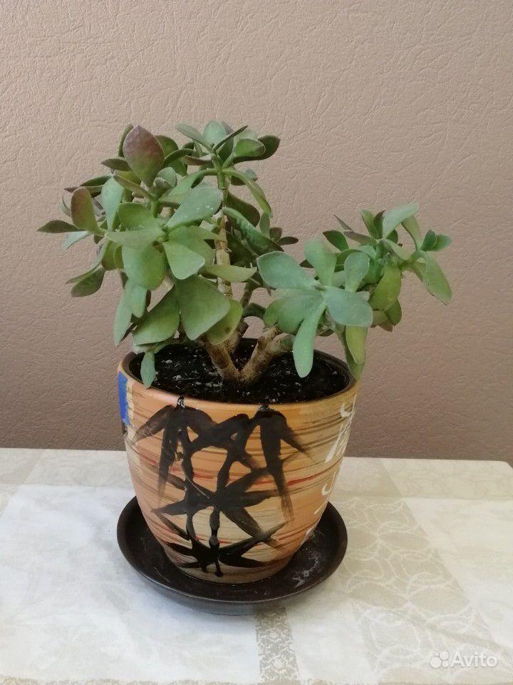 Комнатные растения купить на Зозу.ру - фотография № 4