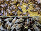 Карпатка, карника,бакфаст пчелопакеты