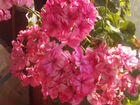 Пеларгония - герань розовая