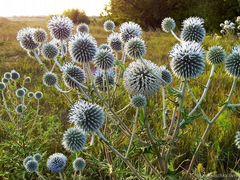 Семена медоносной травы