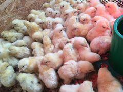 Цыплята бролерные