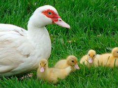 Цыплята суточные мускусные утки (индоутки)