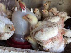 Цыплята Бройлера кобб 700
