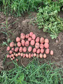 Картошка объявление продам