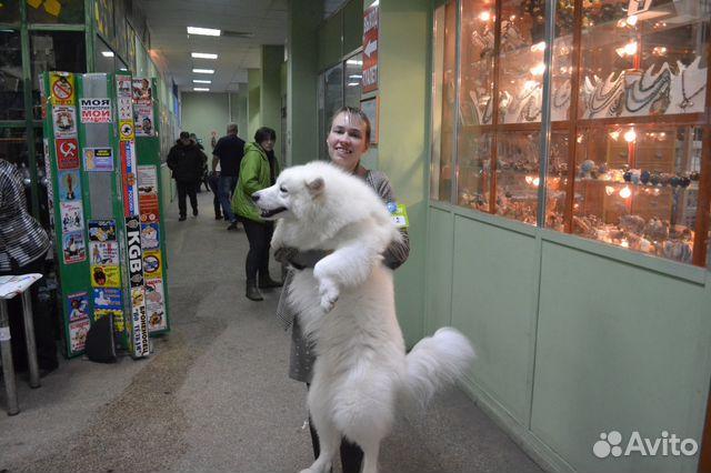 Продаются щенки Самоеда купить на Зозу.ру - фотография № 5