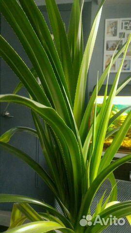 Панданус (винтовая пальма)  89324719004 купить 2