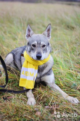 Собака в дар метис овчарки купить на Зозу.ру - фотография № 1