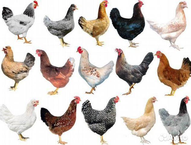 Цыплята Доминанта 26 апреля