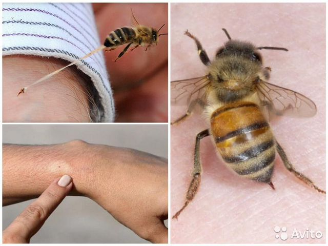 Пчелы для aпитepапии  89134716721 купить 2