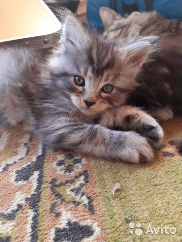 Котята Мейн-кун  купить 2