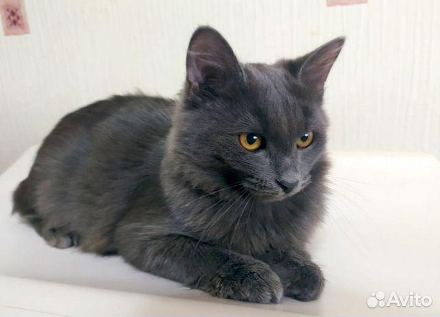 Шикарный серый кот в добрые руки  89038039728 купить 5