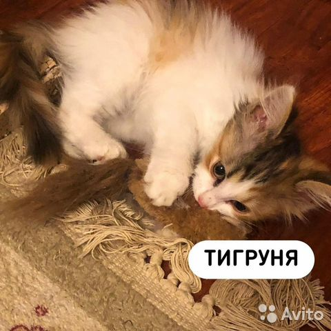 Котенок -Тигруня,девочка  купить 3
