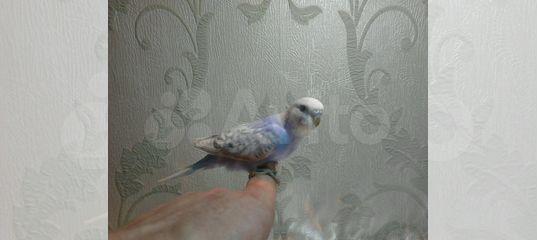 Волнистые попугаи от заводчика
