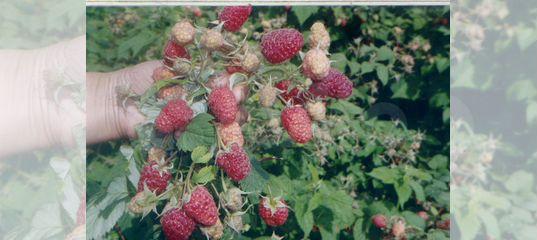 Малина Рубиновый гигант