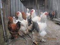 Яйцо инкубационное кур породы Брама