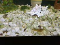 Раки аквариумные