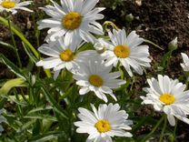 Ромашки белые для сада