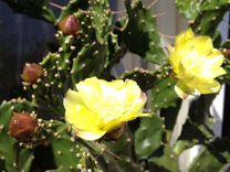 Кактус опунция — Растения в Саратове