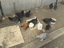 Цыплята 2мес