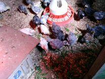 Цыплята-несушки