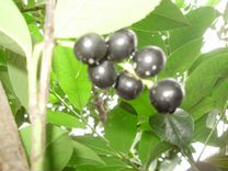 Плоды лавровишни