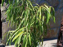 Фикус Али пестролистный — Растения в Саратове