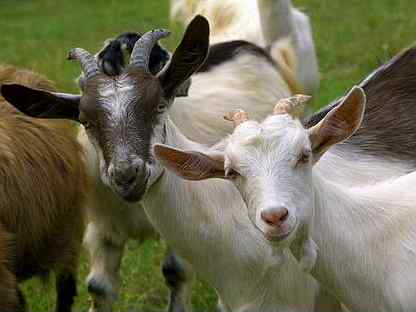 Козы дойные, мясо коз