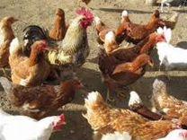 Несушки Белые,Рыжие,Петушки,Цыплята,Утята,Индюшата