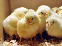 Цыплята бройлеры, утята муларды, несушки гуси