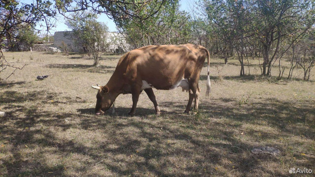 Корова телка теленок  89285255155 купить 1