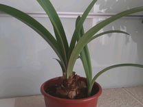 Амариллис(ком. цветок)