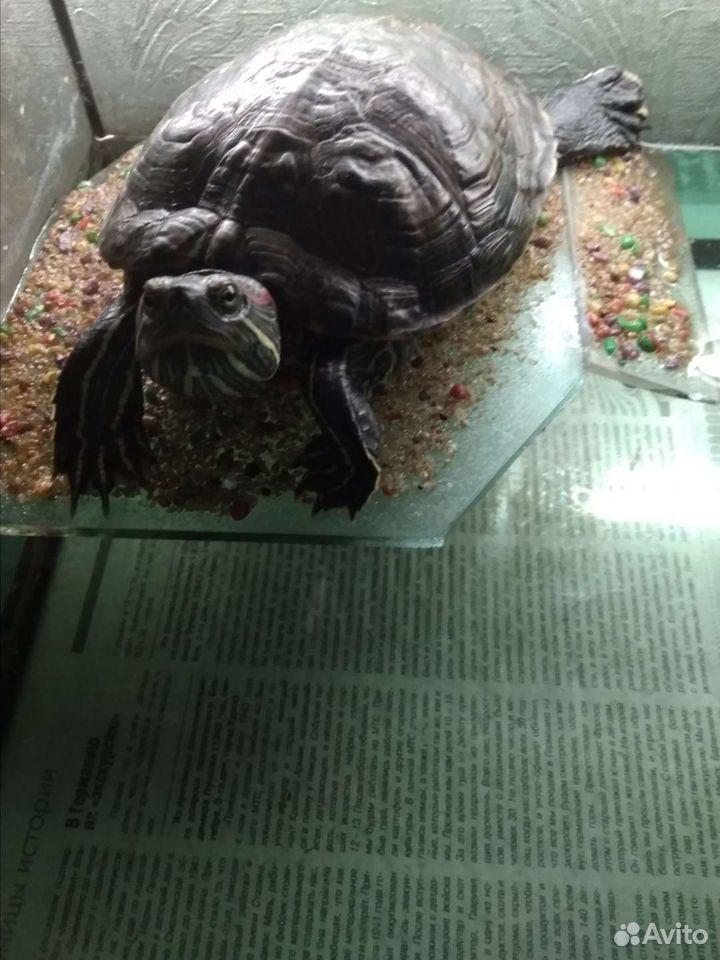 Черепаха  89513220132 купить 3