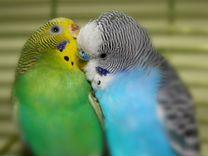 Волнистые попугаи домашнего разведения