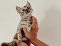 Бенгальский котёнок