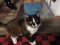 Домашний котик